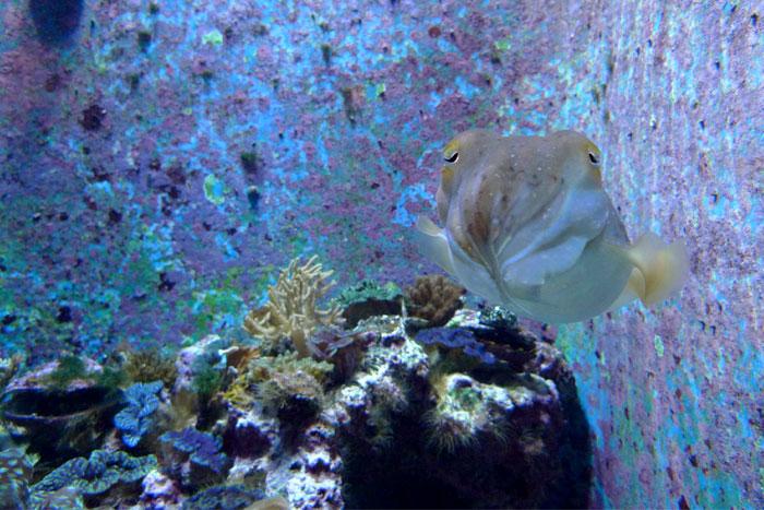 沖縄 美ら海水族館 コブシメ