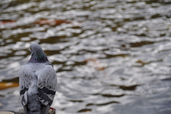 宝ケ池公園でハト