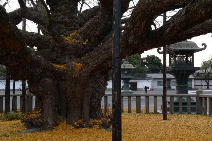 本願寺のイチョウ