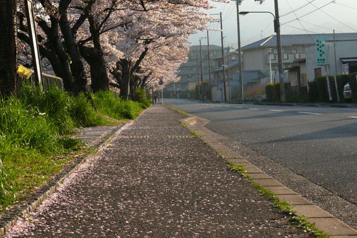 桜、散ってるかも