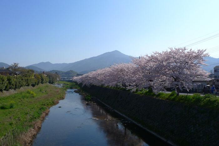 高野川の春