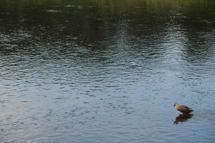 賀茂川のカモ